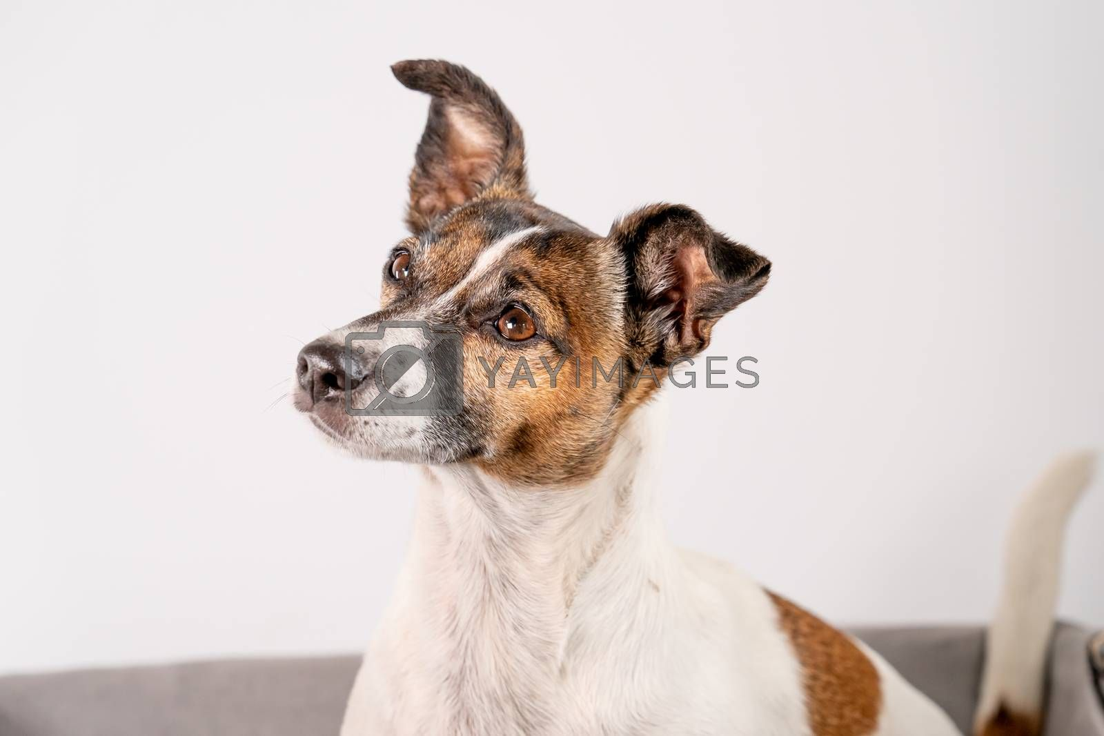 Brown, black and white Jack Russell Terrier posing in wicker basket, half body, isolated on a white background, with copy space.