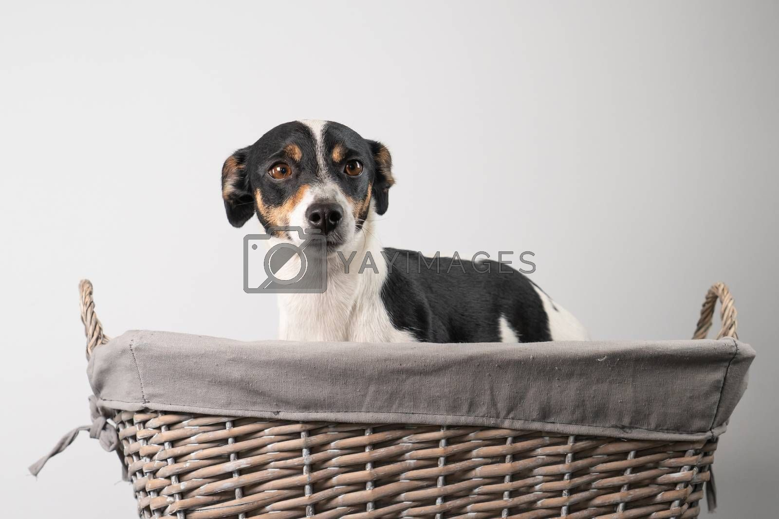 Brown, black and white, young Jack Russell Terrier in a basket on a white background, half body.