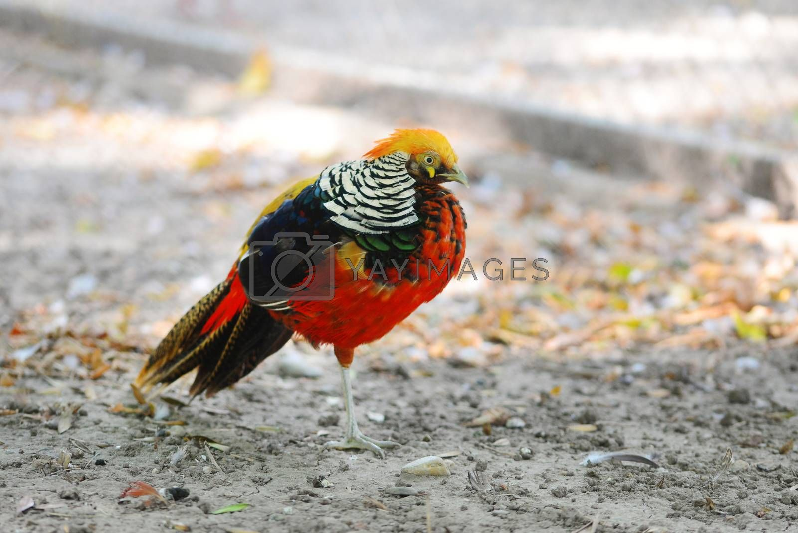 Royalty free image of Golden pheasant by tony4urban