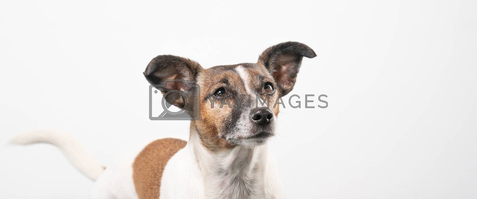Brown and white older Jack Russell Terrier on a white background, head only. Social media banner or cover.