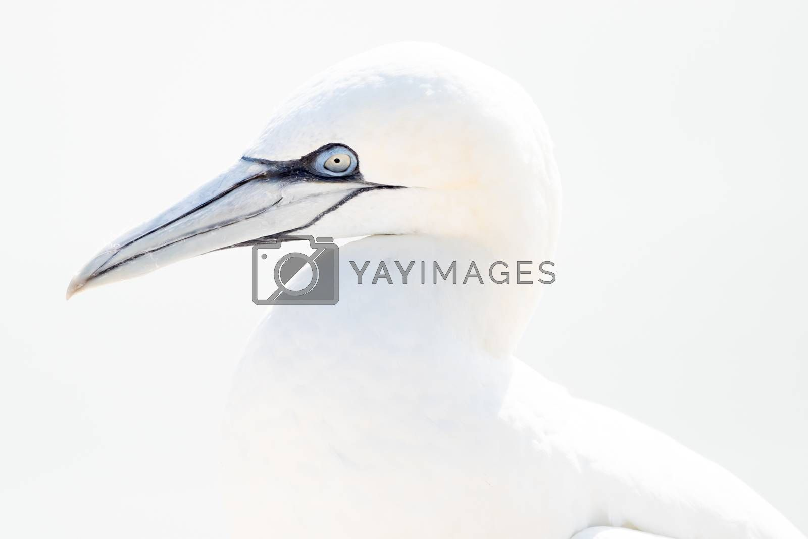 One wild bird in the wild, Northern Gannet on the island of Helgoland on the North Sea in Germany. In high-key.