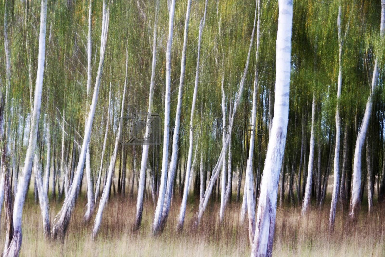 Royalty free image of Birch Tree Forest by Fr@nk