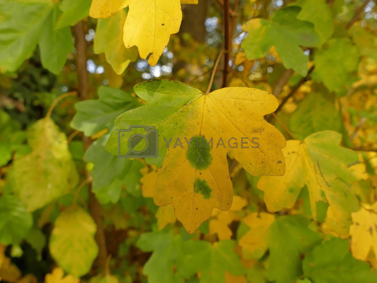 autumnal colored field maple leaves