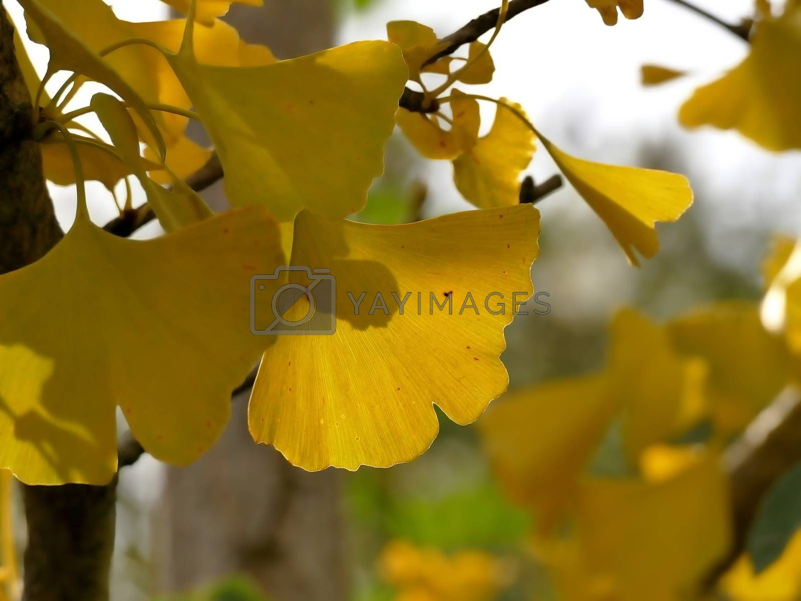 autumnal colored ginkgo leaf in backlit