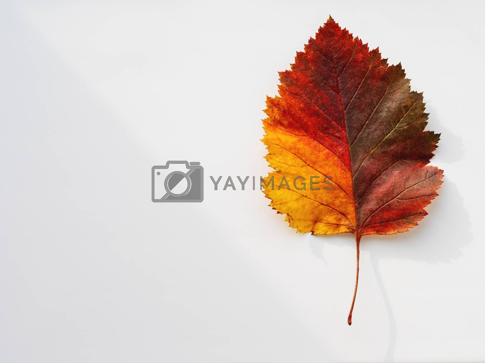 Bright and colorful autumn leaf. Top view on monochrome geometry with light and shadow. Minimalism. Fall season. by aksenovko