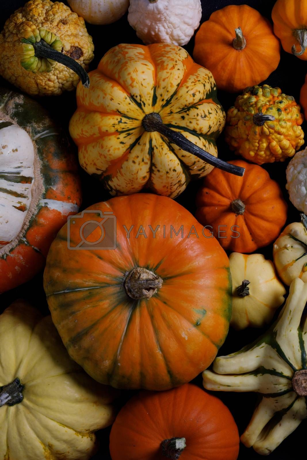 Assortiment of autumn harvested pumpkins , background , Halloween holiday concept