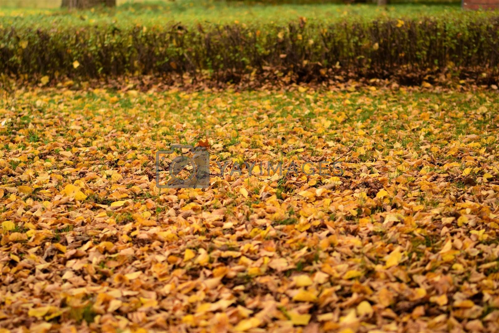 autumn leaves in yellow and brown on the floor in front of a small hedge