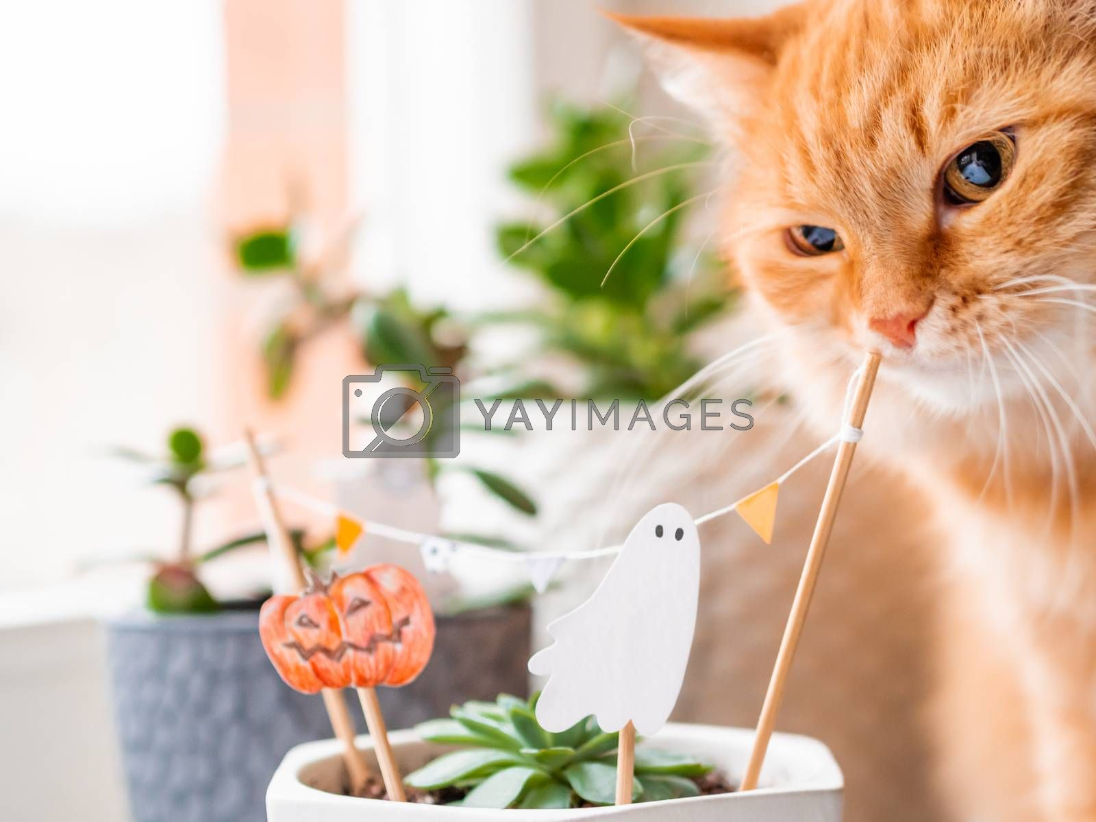 Cute ginger cat sniffs flower pots with handmade decorations for Halloween. Painted ghost and pumpkin in flower pot with succulent plant. Cozy home.