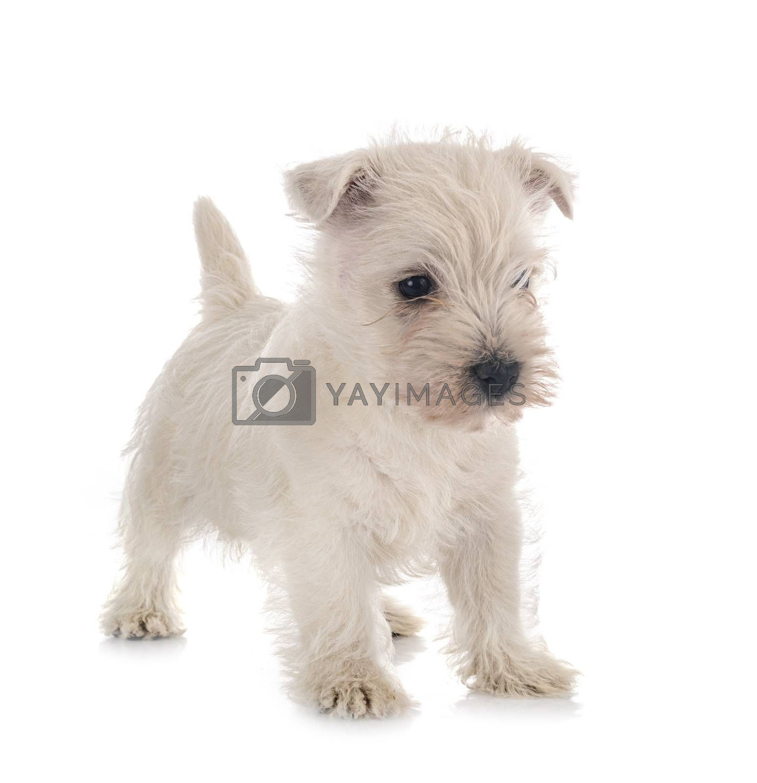 puppy West Highland White Terrier in front of white background