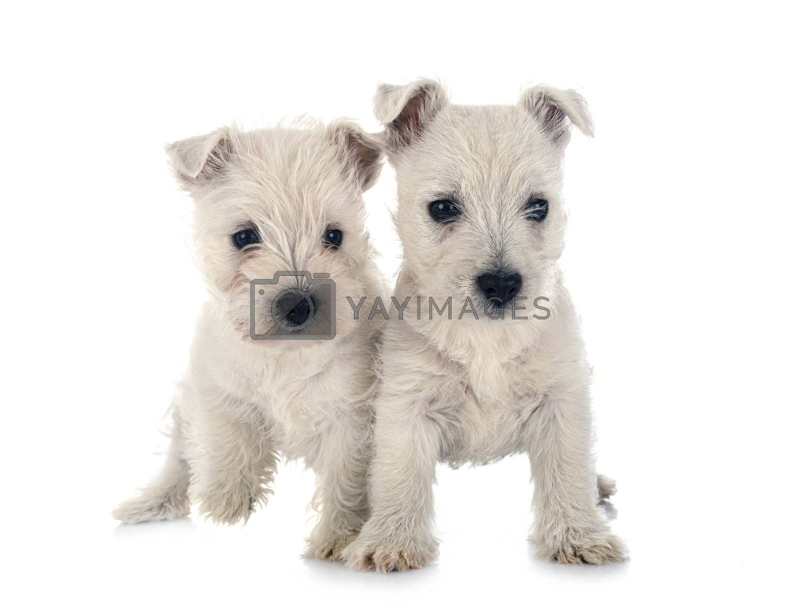 puppies West Highland White Terrier in front of white background