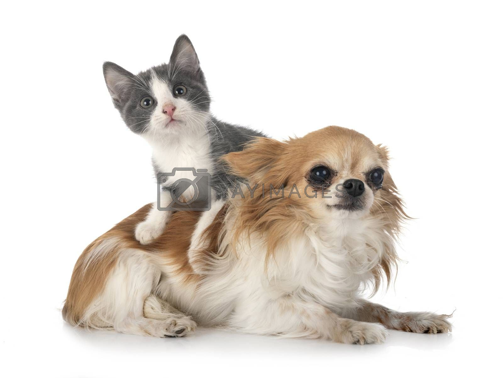 stray kitten and chihuahua in front of white background