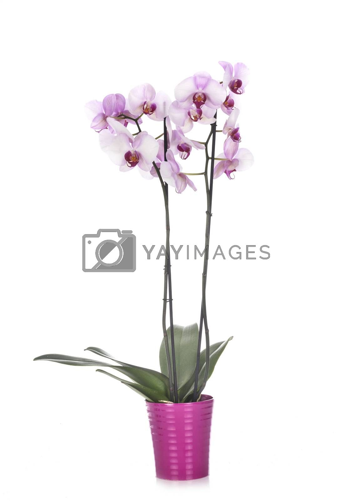 moth orchids in front of white background