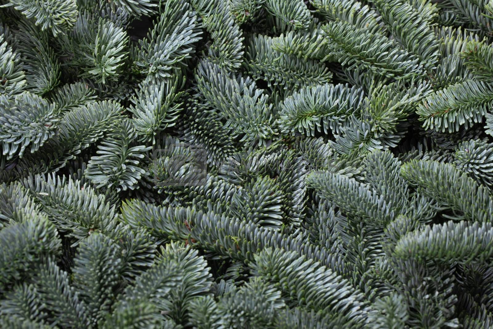 Noble fir tree branch christmas new year background close up