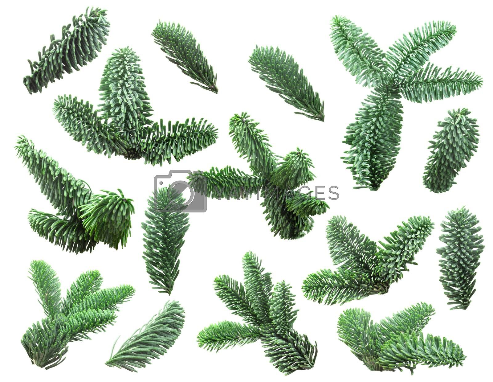 Collection set christmas noble fir tree branch isolated on white background new year design element