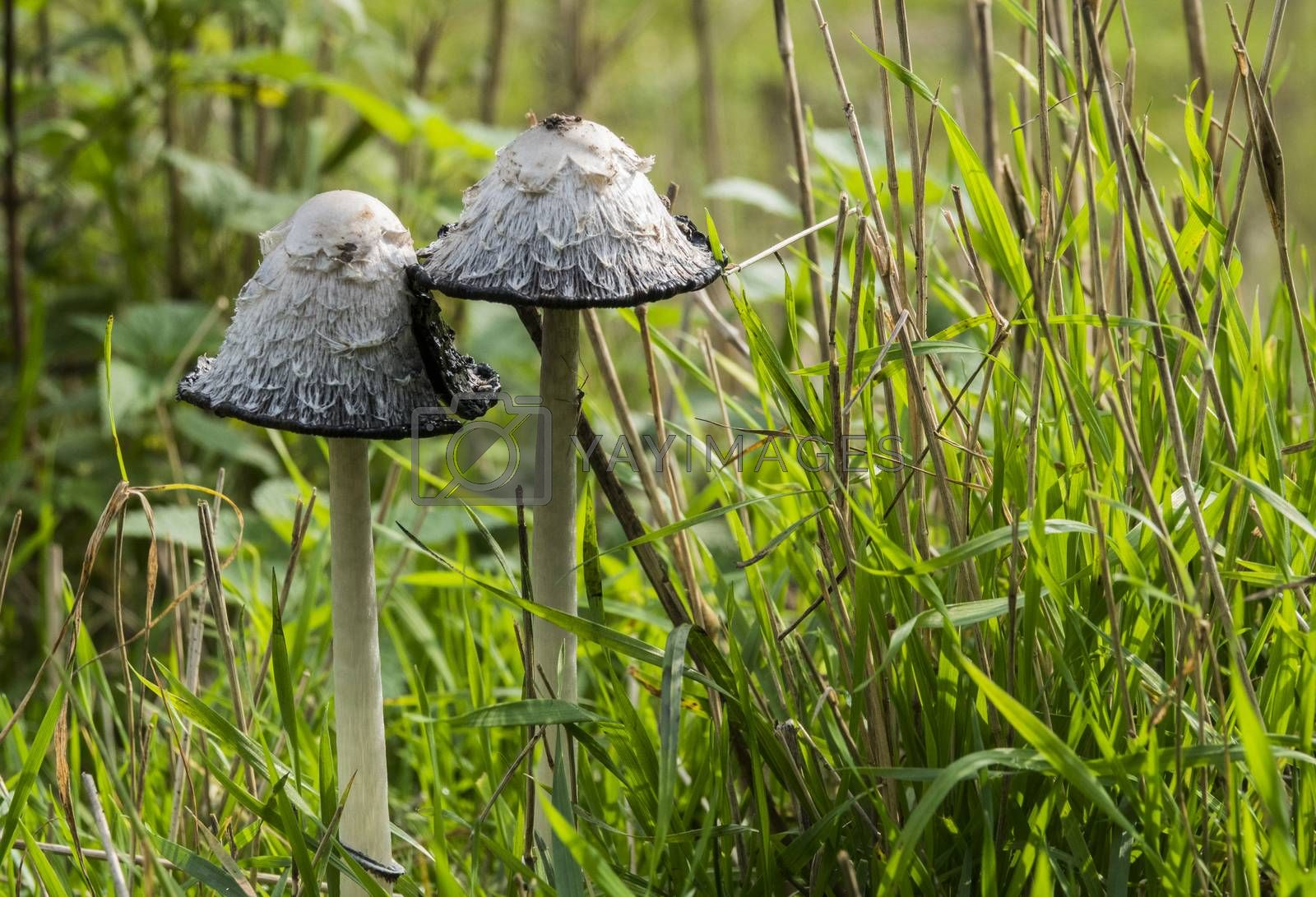 Shaggy ink caps, also lawyer's wigs or shaggy manes or the Coprinus comatus fungus in autumn forest in holland during autumn in the national park de biesbosch