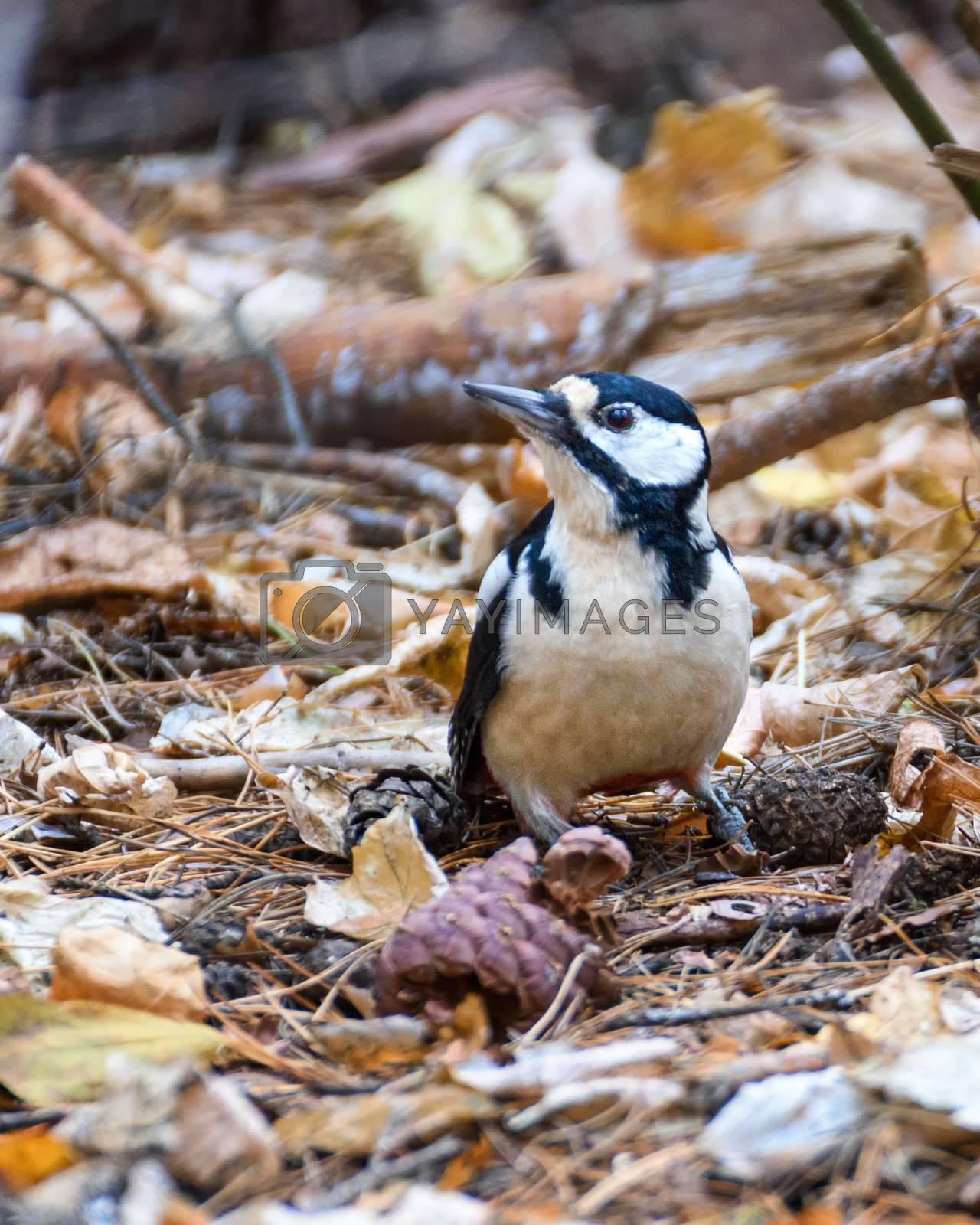 Royalty free image of Woodpecker sitting on fallen leaves by VladimirZubkov