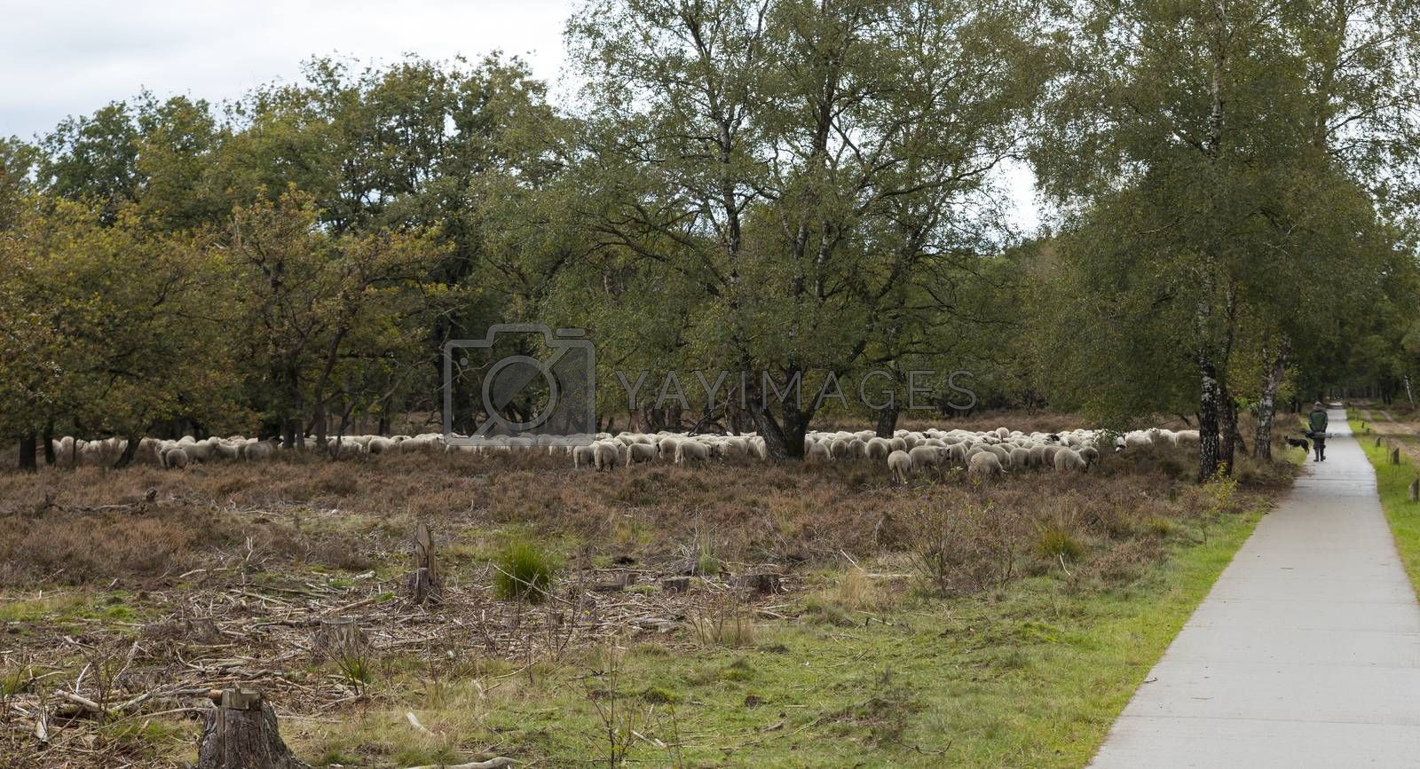 Kootwijk,holland,18-okt-2020:Shepard with flock of sheep grazing in national park de veluwe