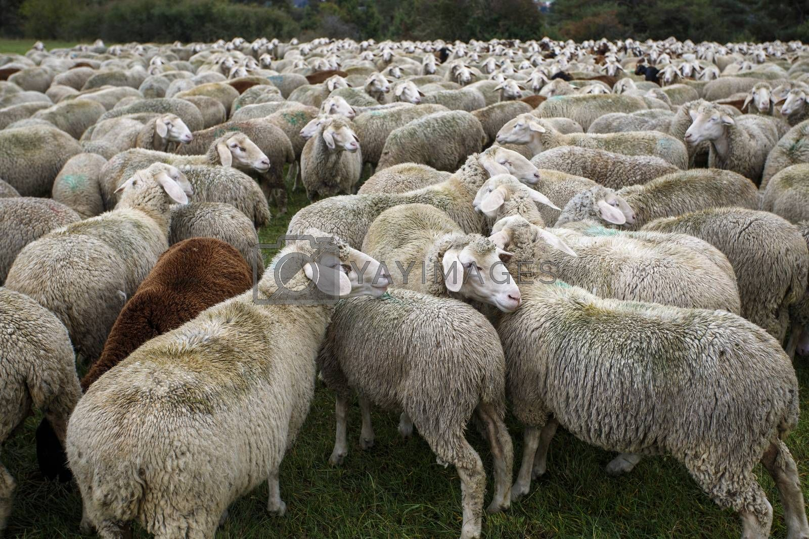 herd of sheep in summer