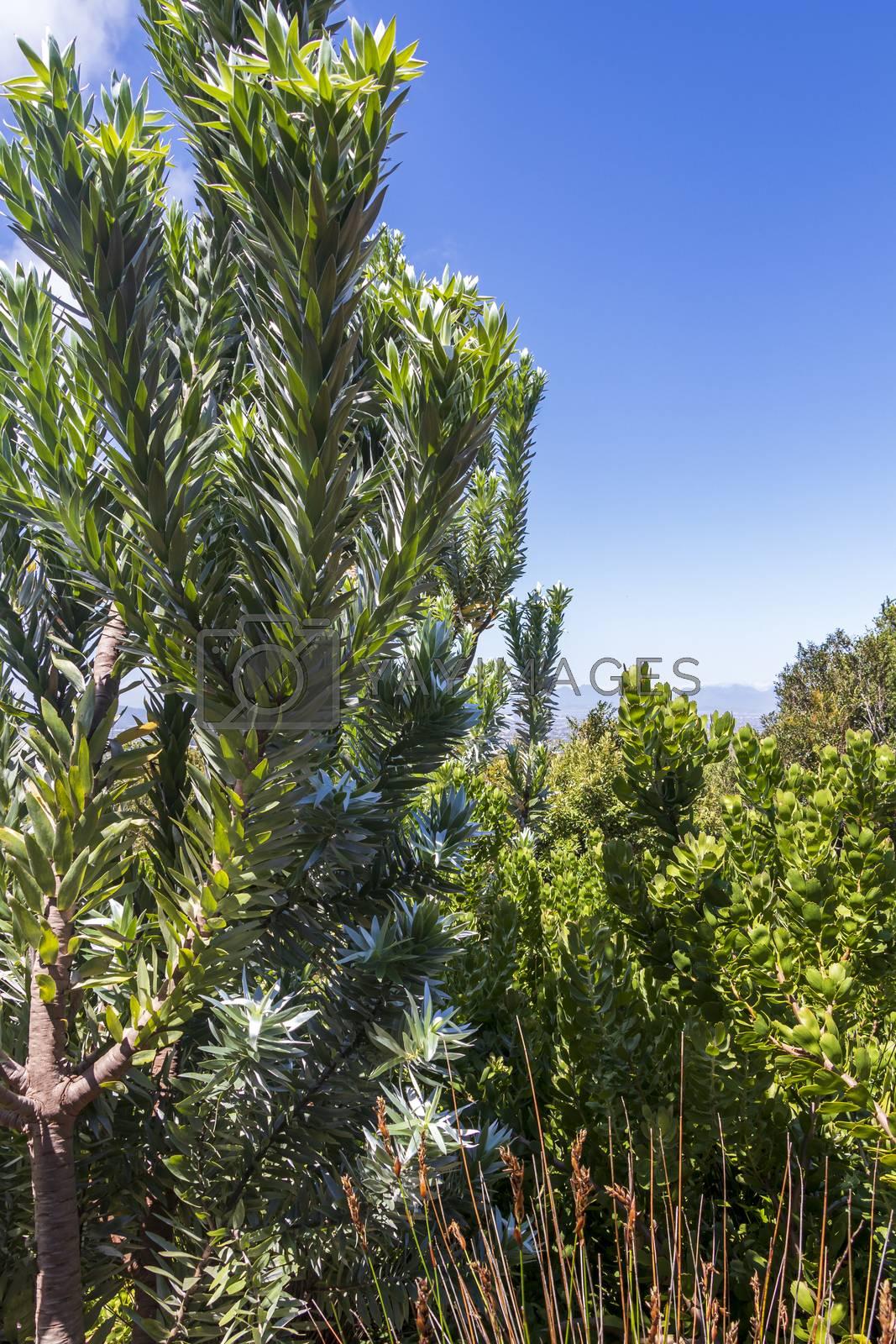 Silver tree Leucadendron argenteum in Kirstenbosch National Botanical Garden panorama, Cape Town, South Africa.