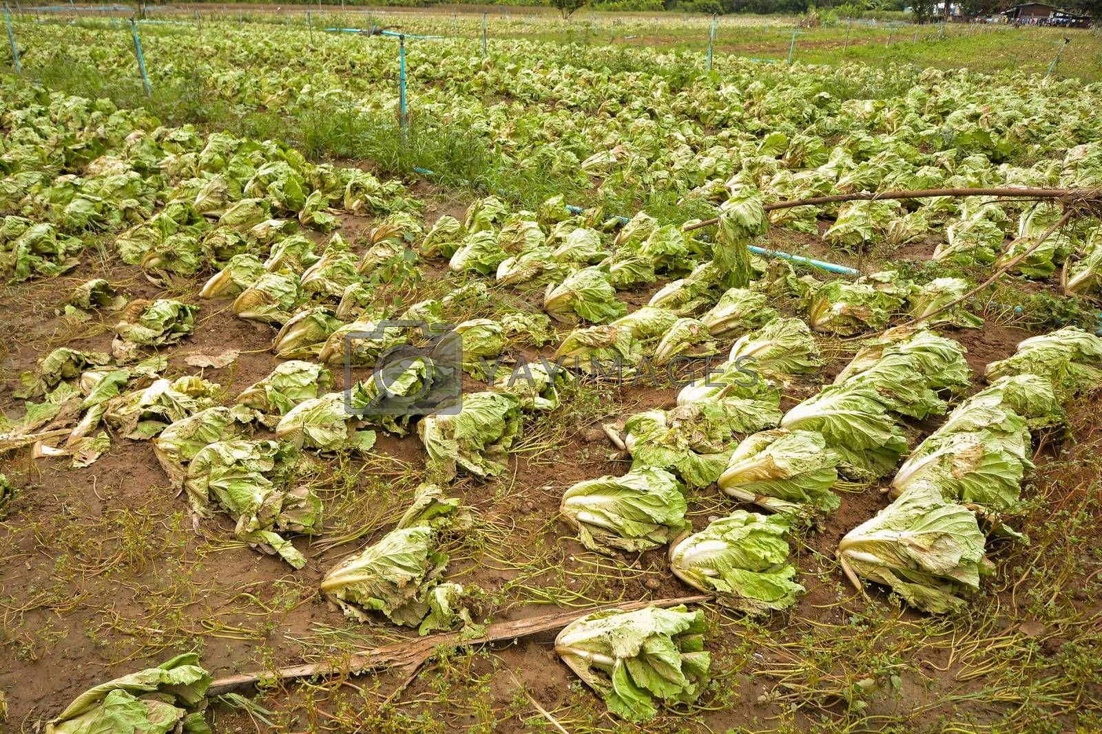 Agricultural land affected by flooding. Flooded field. The consequences of rain disaster or Water flood. Agriculture and farming of White Cabbage. Natural disaster and crop loss risks.