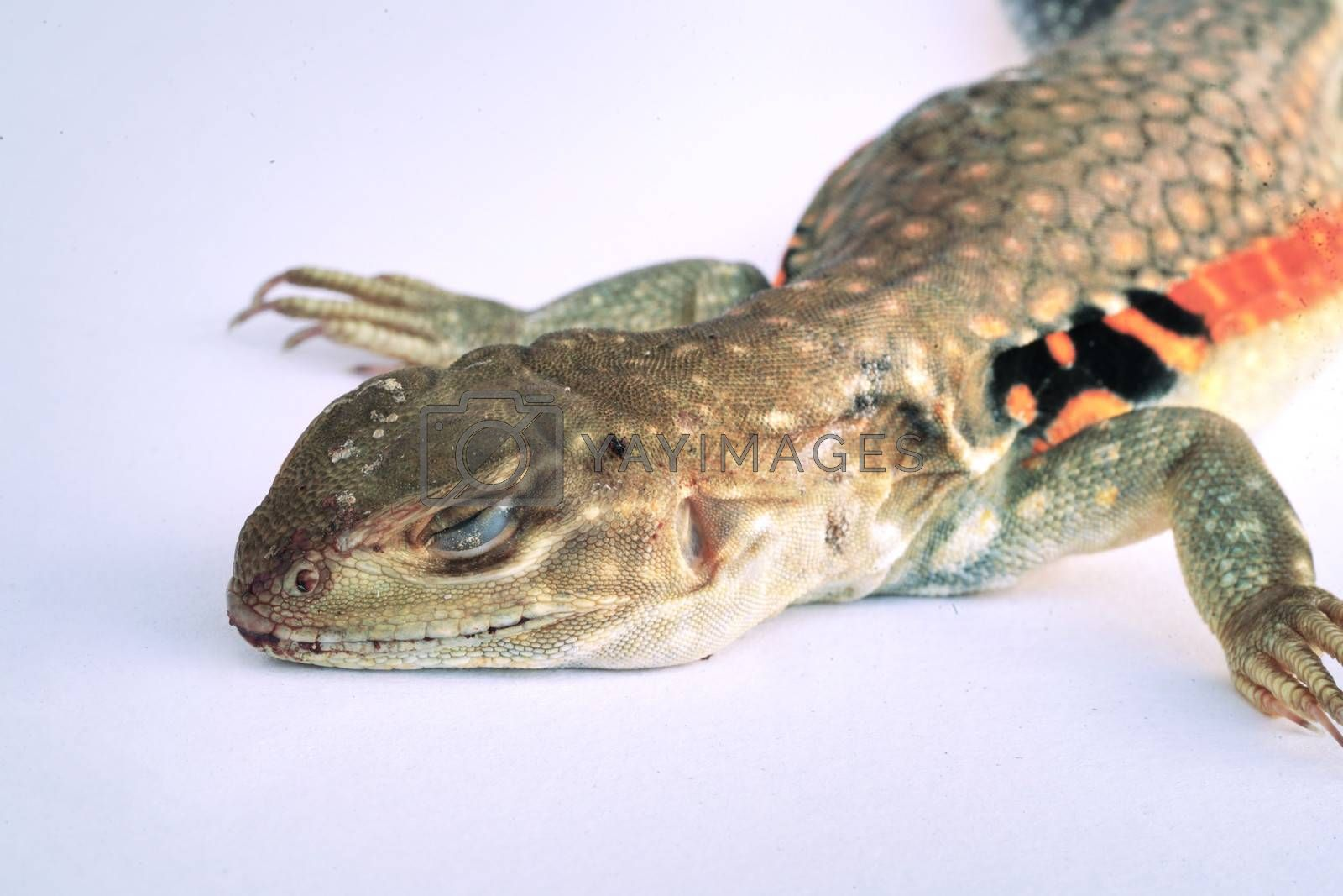 A close-up of a species of reptile with a reddish brown body in Thailand and in tropical countries. Isolated white background