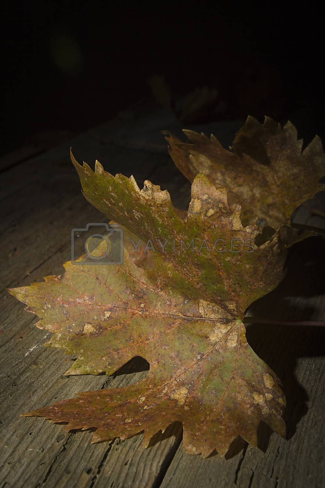 Yellowed withered grape leaves on an old wooden table