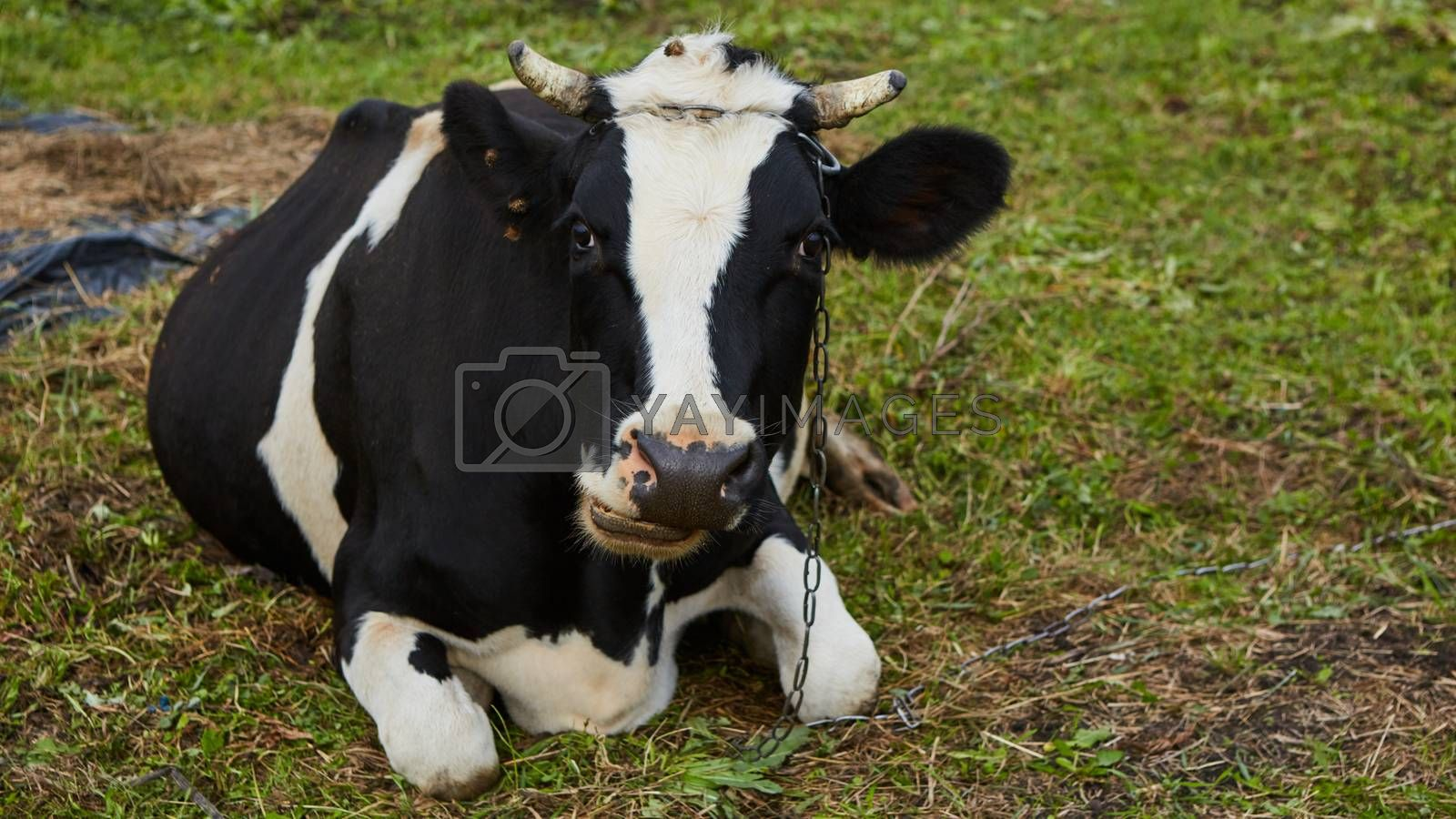 A curious dairy cow stands in her pasture. Dairy Cow. A curious dairy cow