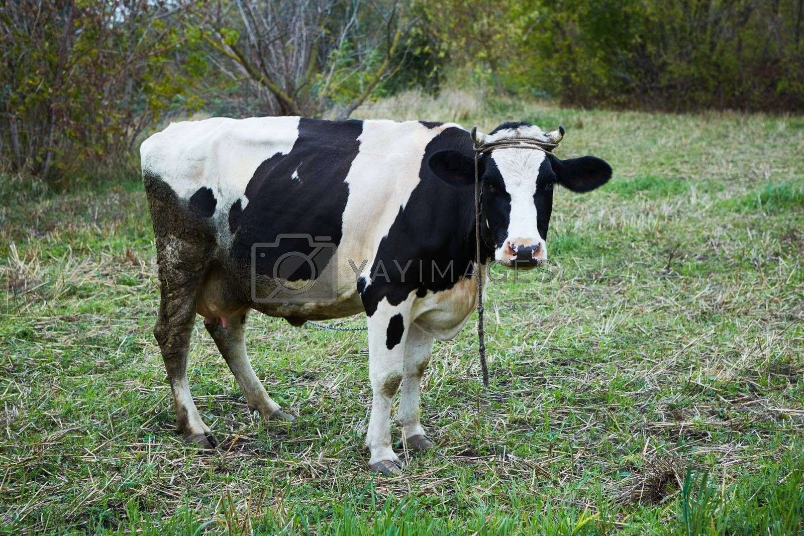 Dairy cow at countryside. Dairy Cow. A curious dairy cow