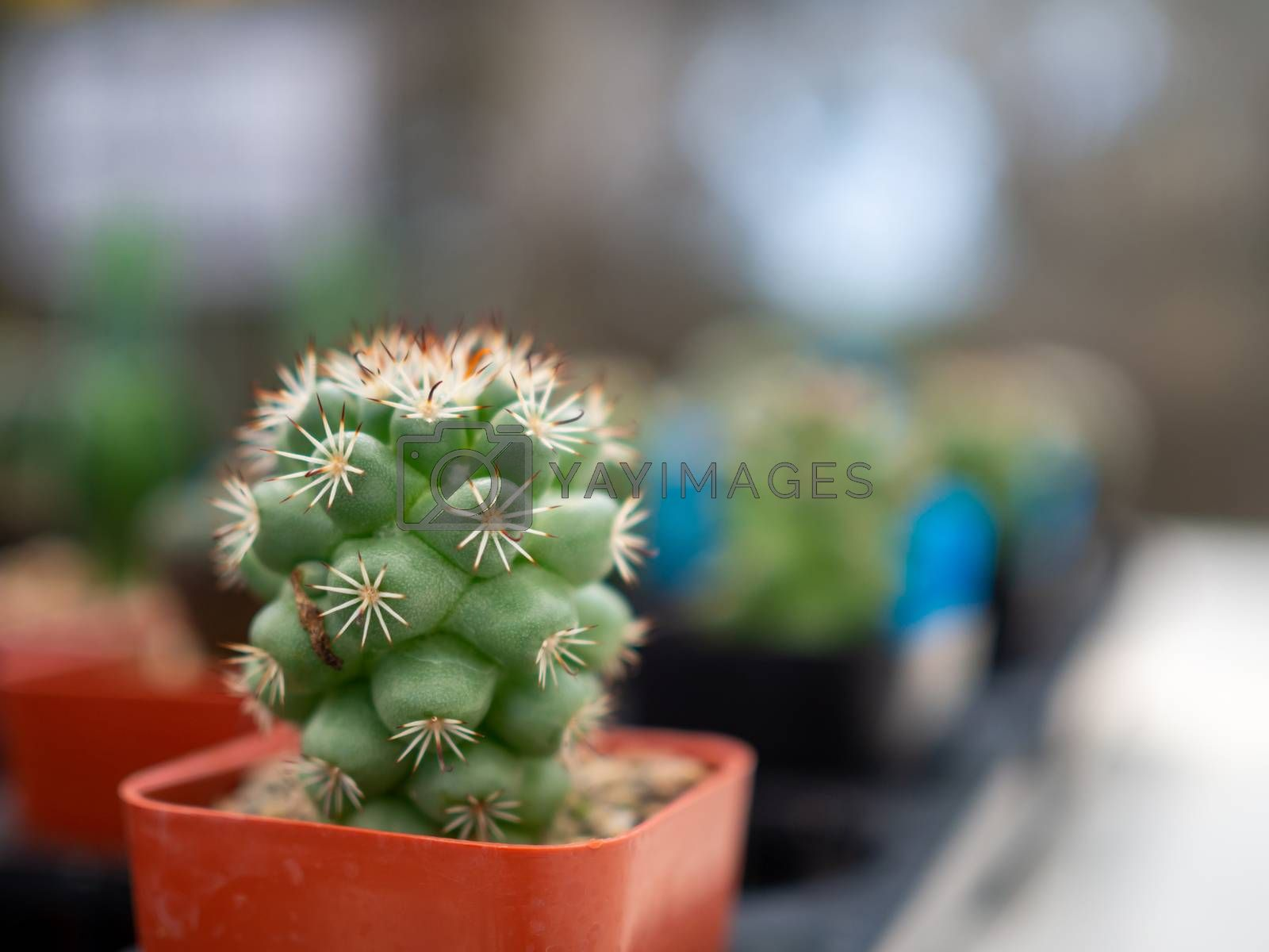 A close up of a cactus On a blurred background