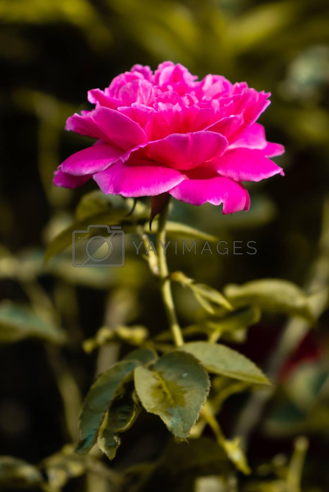 Garden Rose bloom in the early sun light