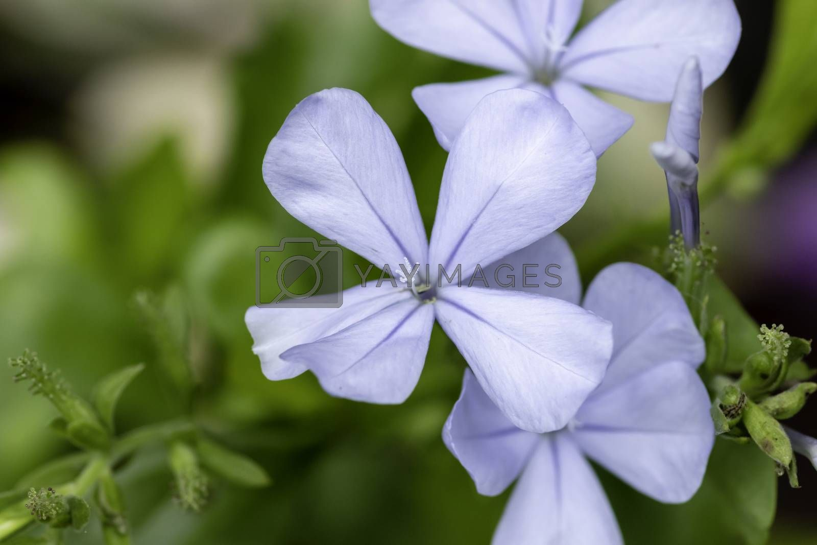 Small Blue Plumbago Flower macro out of focus background photograph