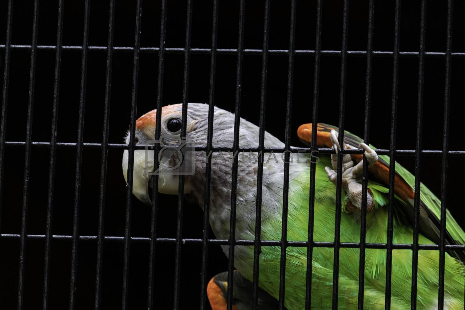 Senegal parrot silver neck looking curious hanging in cage net Closeup