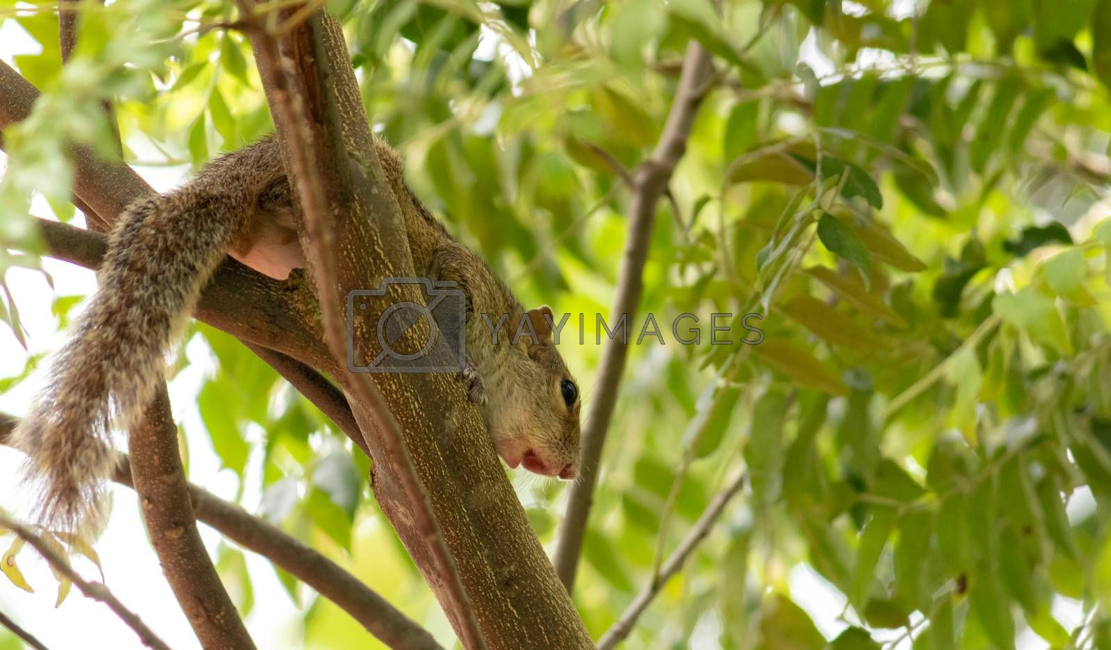 Squirrel on a tree branch in the shade photograph from below