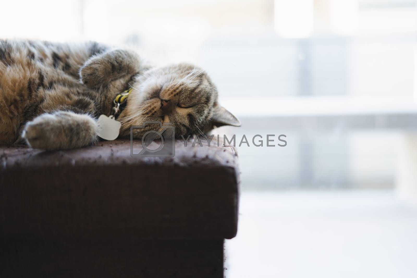 cat looking sleeping  in the house Lazy  cat relaxing