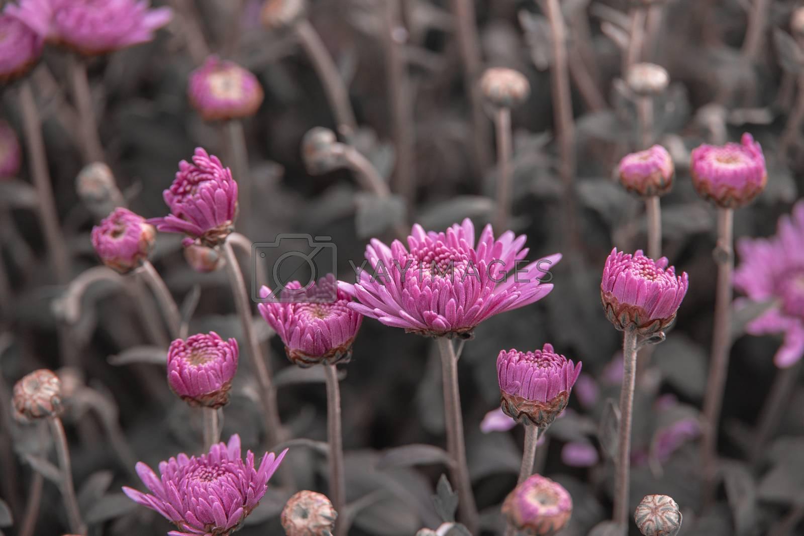 Royalty free image of  autumn purple chrysanthemum flowers in closeup by Lukrecja