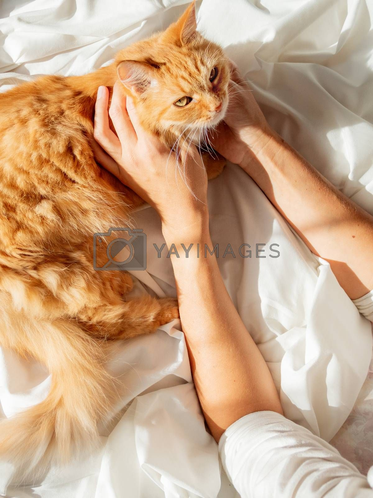Cute ginger cat lying on woman's hand. Fluffy pet on unmade bed. Fuzzy domestic animal with owner in cozy home. Cat lover.