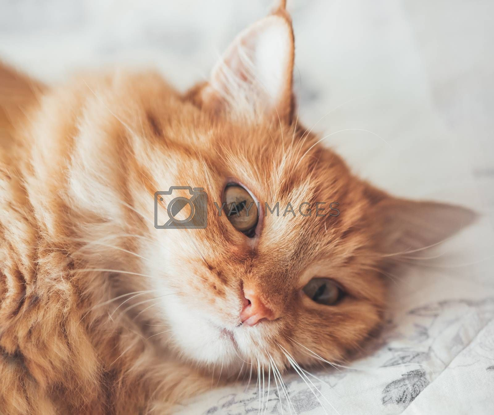Close up portrait of cute ginger cat lying on bed. Curious and funny pet. Fuzzy domestic animal.