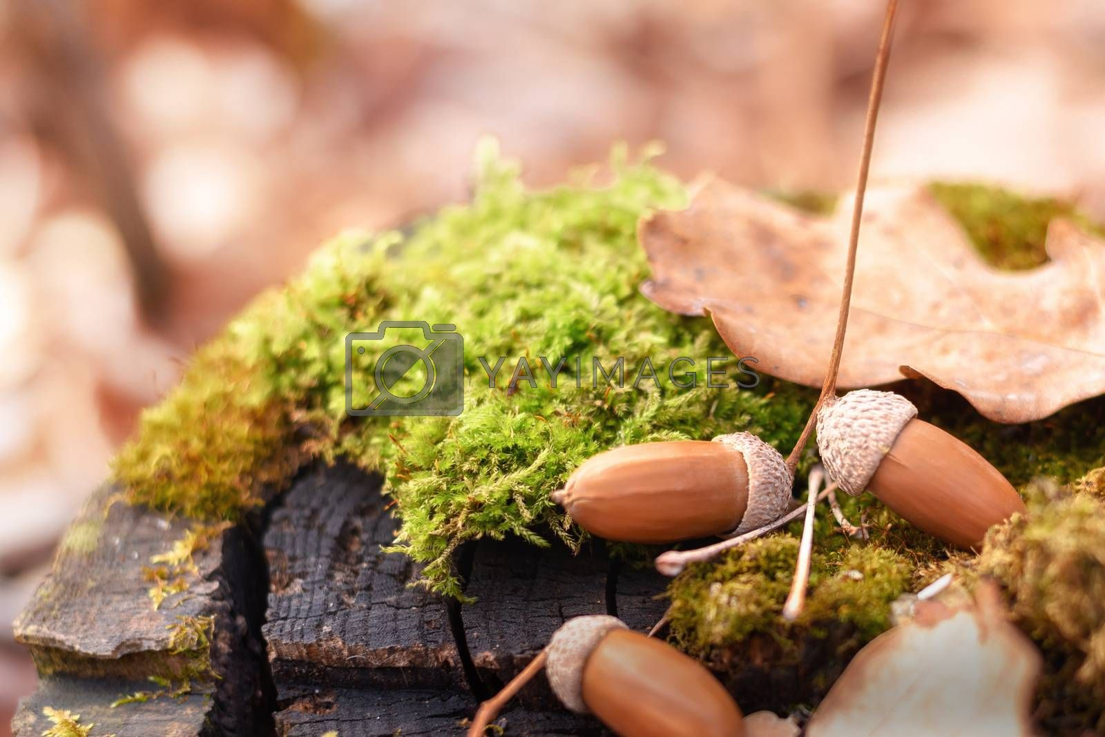 Royalty free image of Acorns and oak leaves on a stump by VladimirZubkov