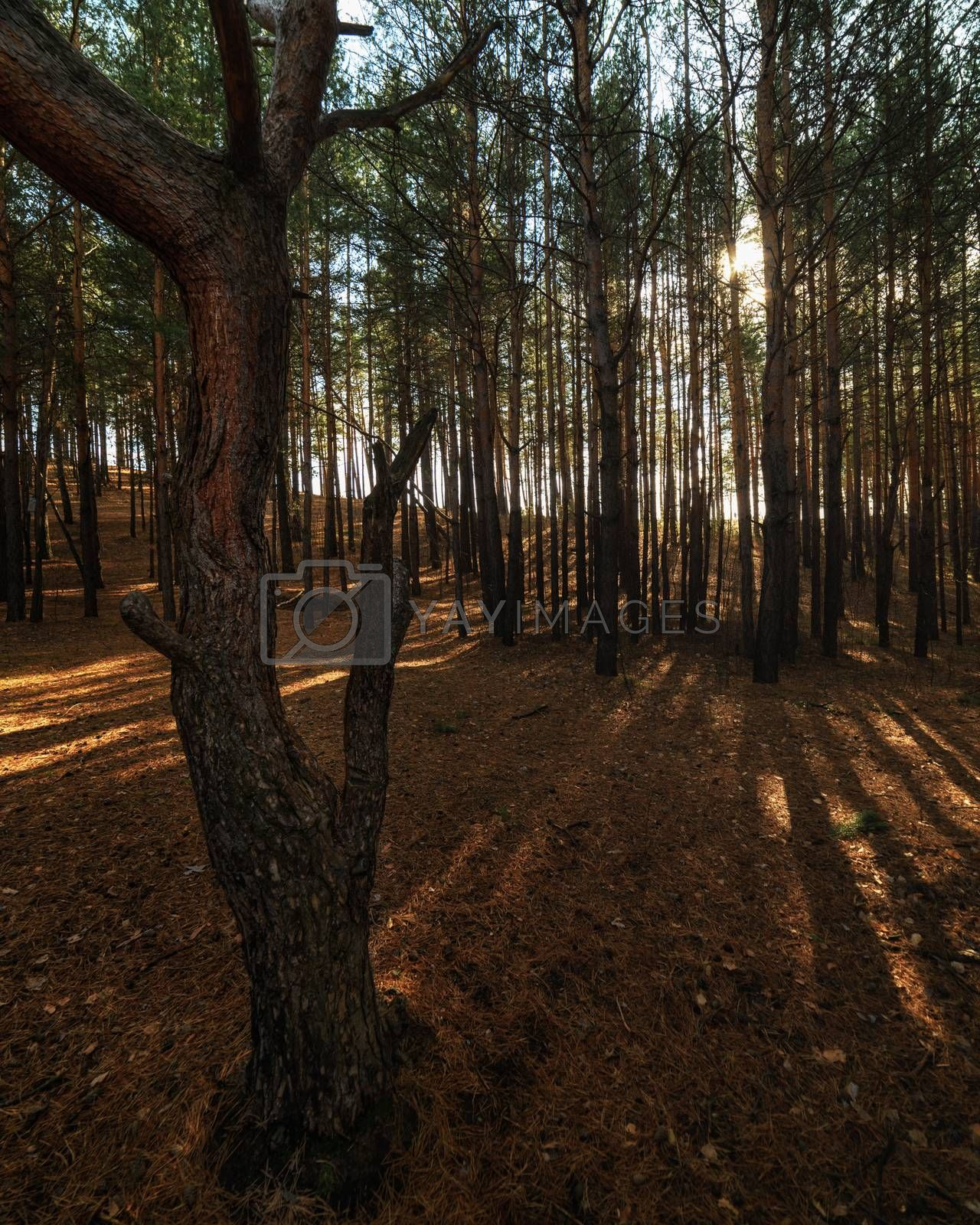 Royalty free image of Dark forest, illuminated by the sun`s rays by VladimirZubkov