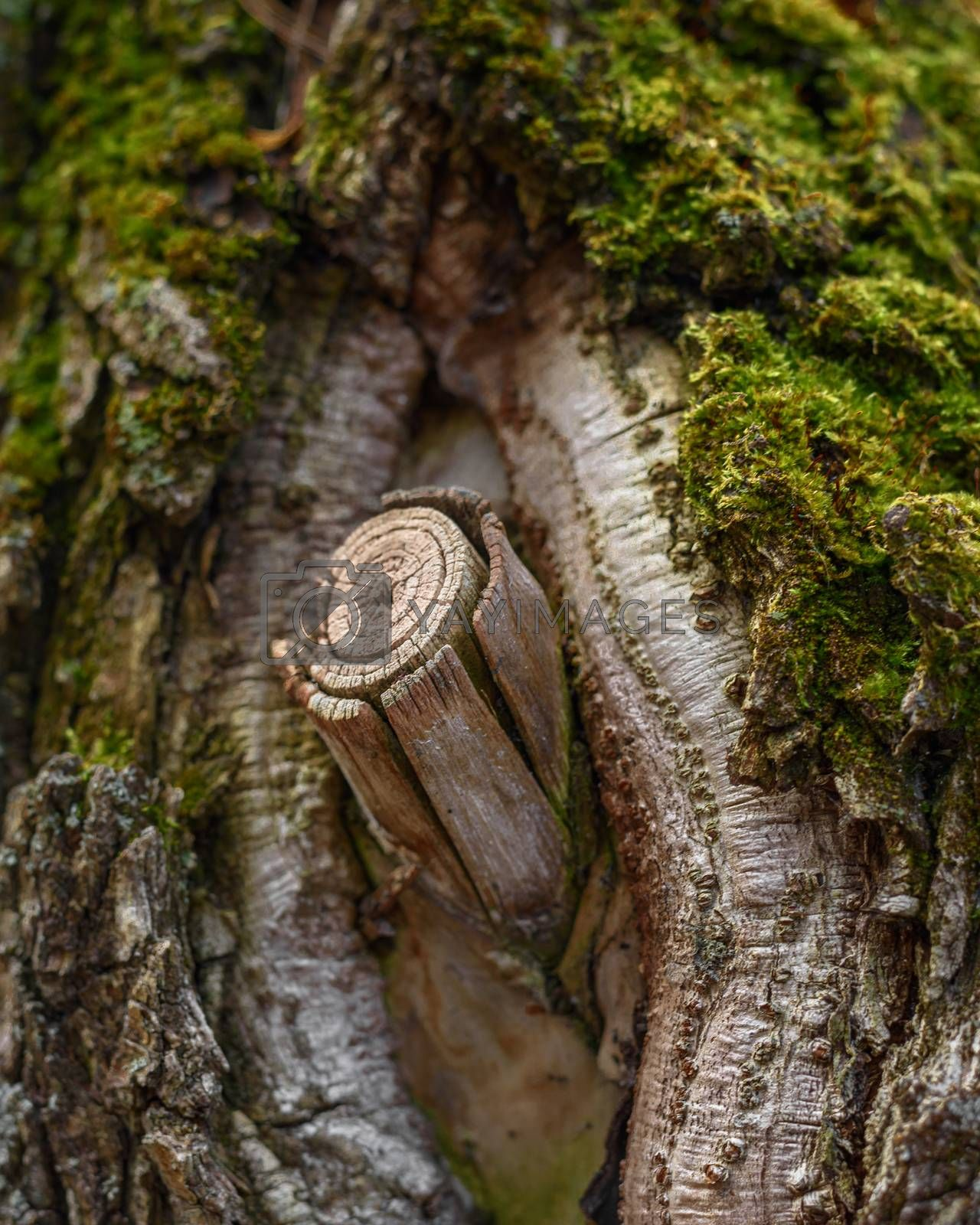 Royalty free image of A twig on an old tree, close-up by VladimirZubkov