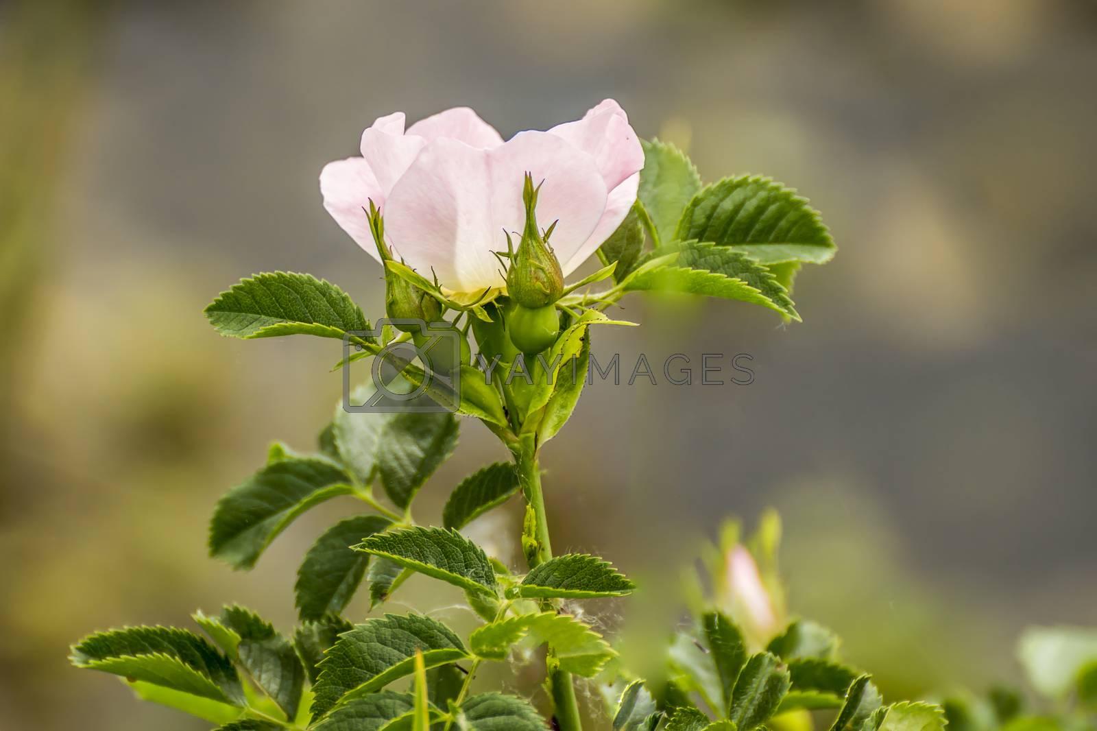 rose blossom branch in the season garden
