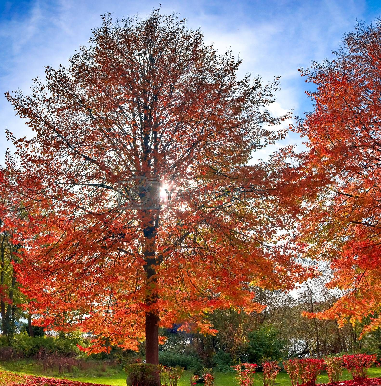 Beautiful autumn tree with red and orange colored leaves on a sunny day