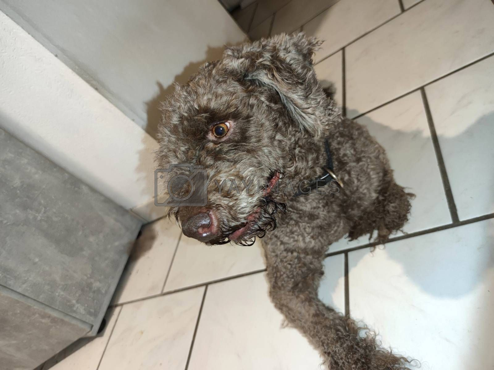 Sitting dog profile brown lagotto romagnolo truffle breed close up background modern high quality prints