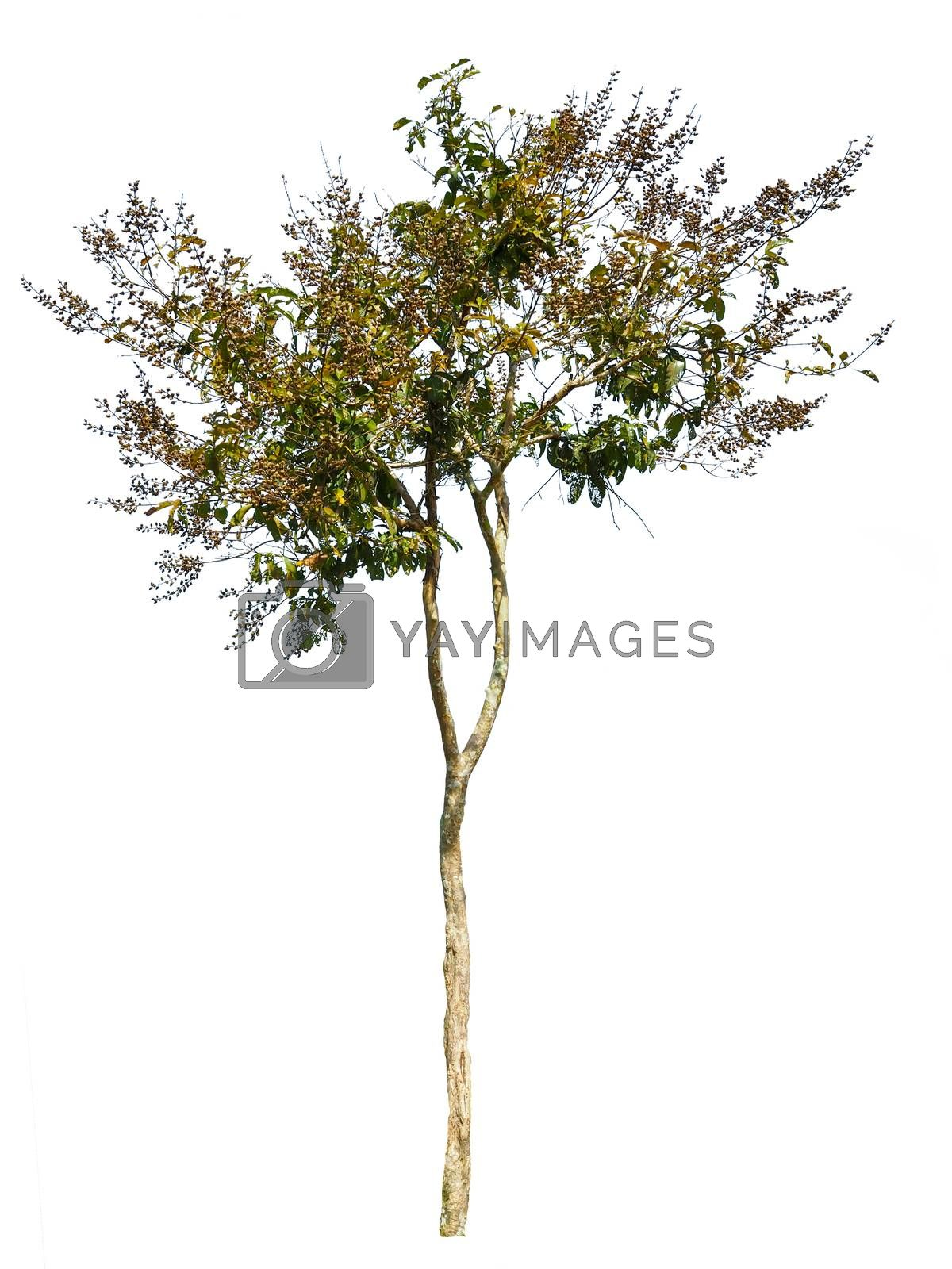Trees in the rainy season Isolated from white background