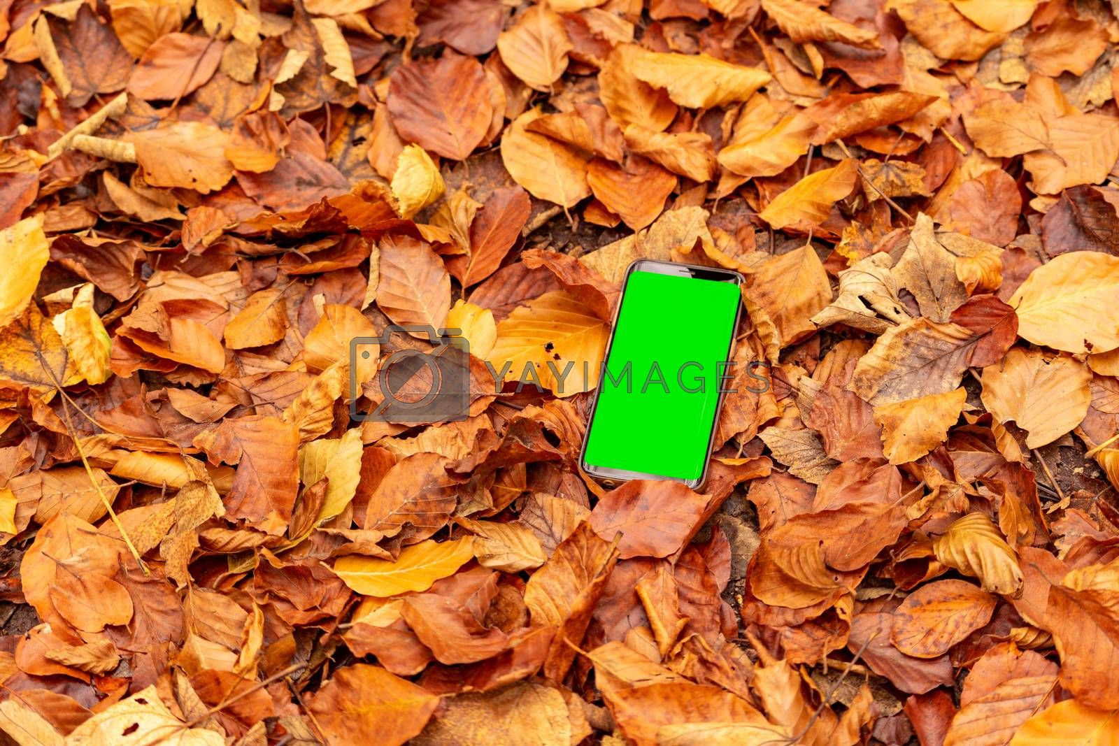 Fallen autumn leaves background with smartphone isolated with greenscreen outdoors.