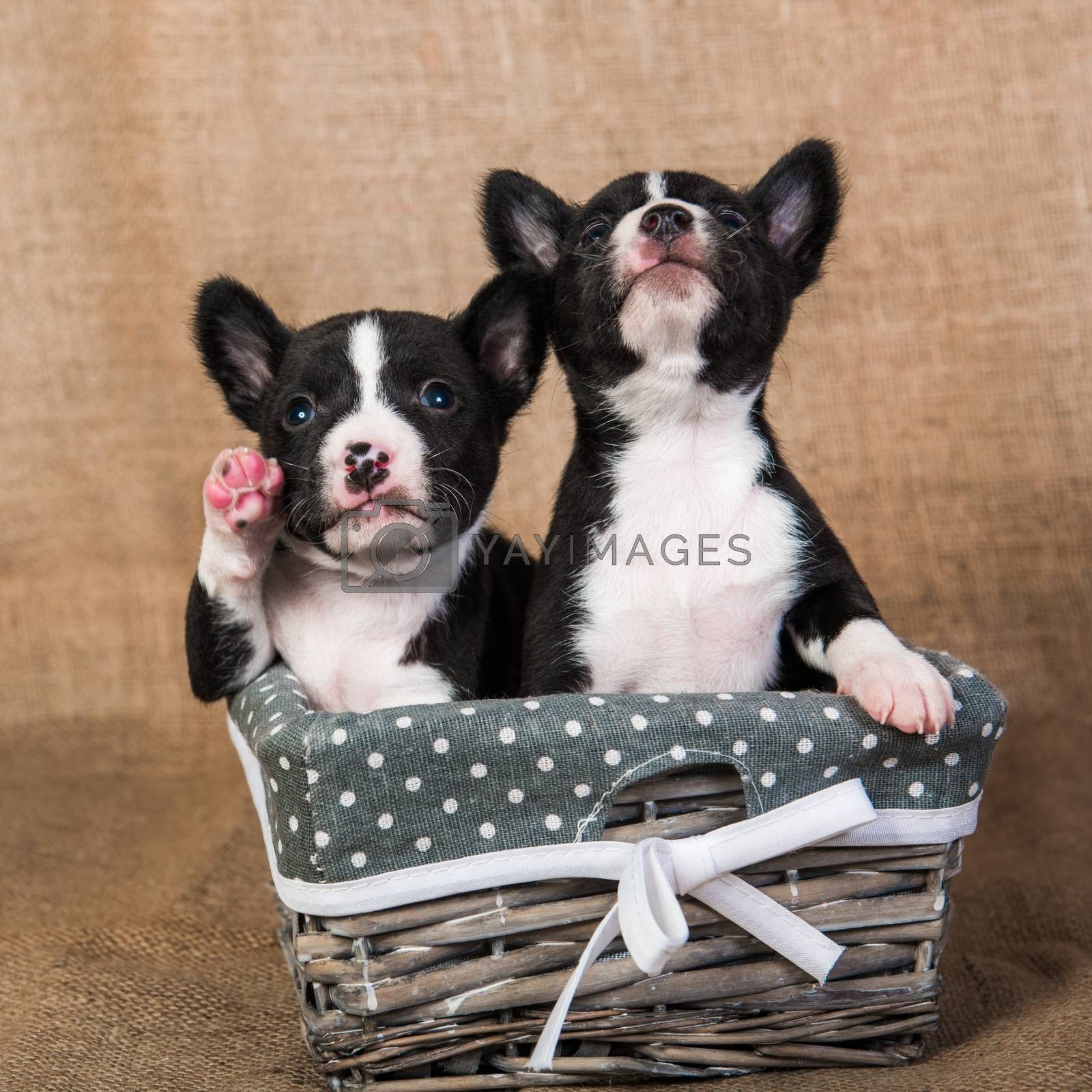 Two Funny small babies Basenji puppies dogs on Sackcloth background, greeting card