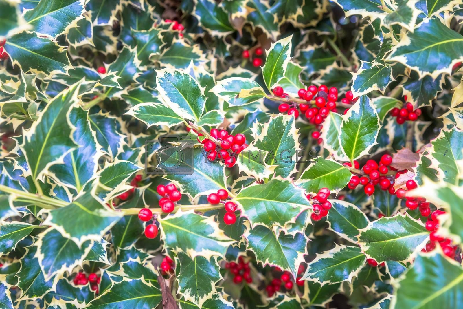Holly barries background. Traditional symbol of Christmas and New Year season.