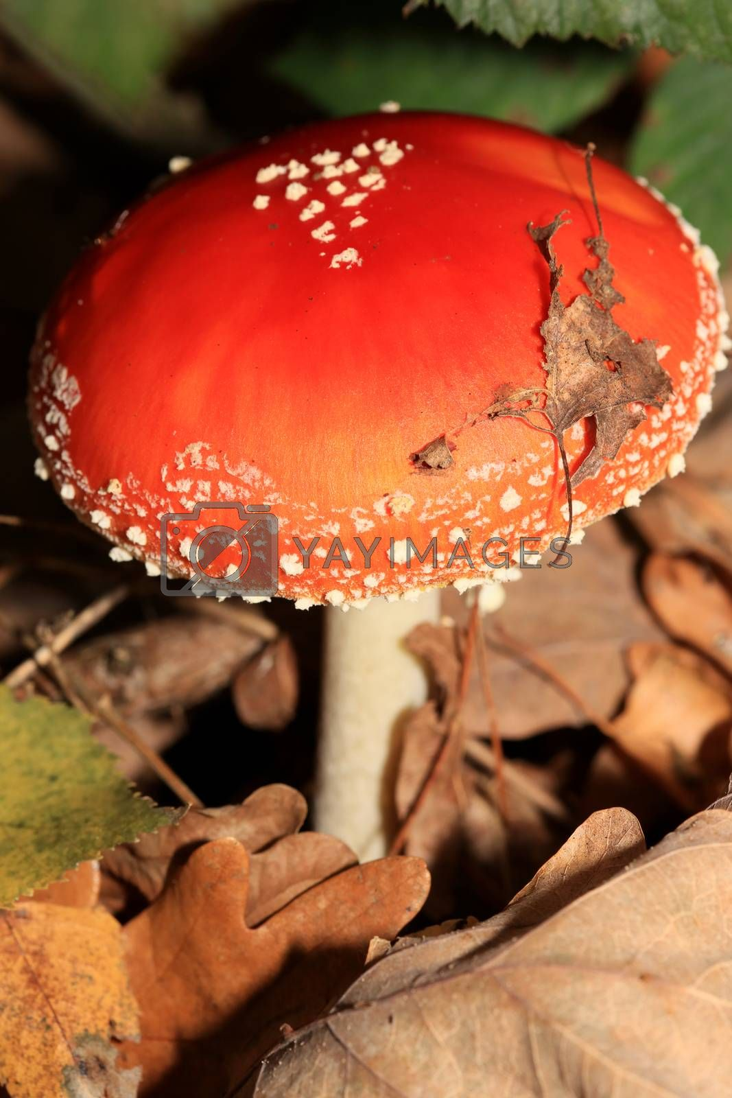 Fly agaric amanita muscaria amanitaceae family psychedelic trip high quality prints
