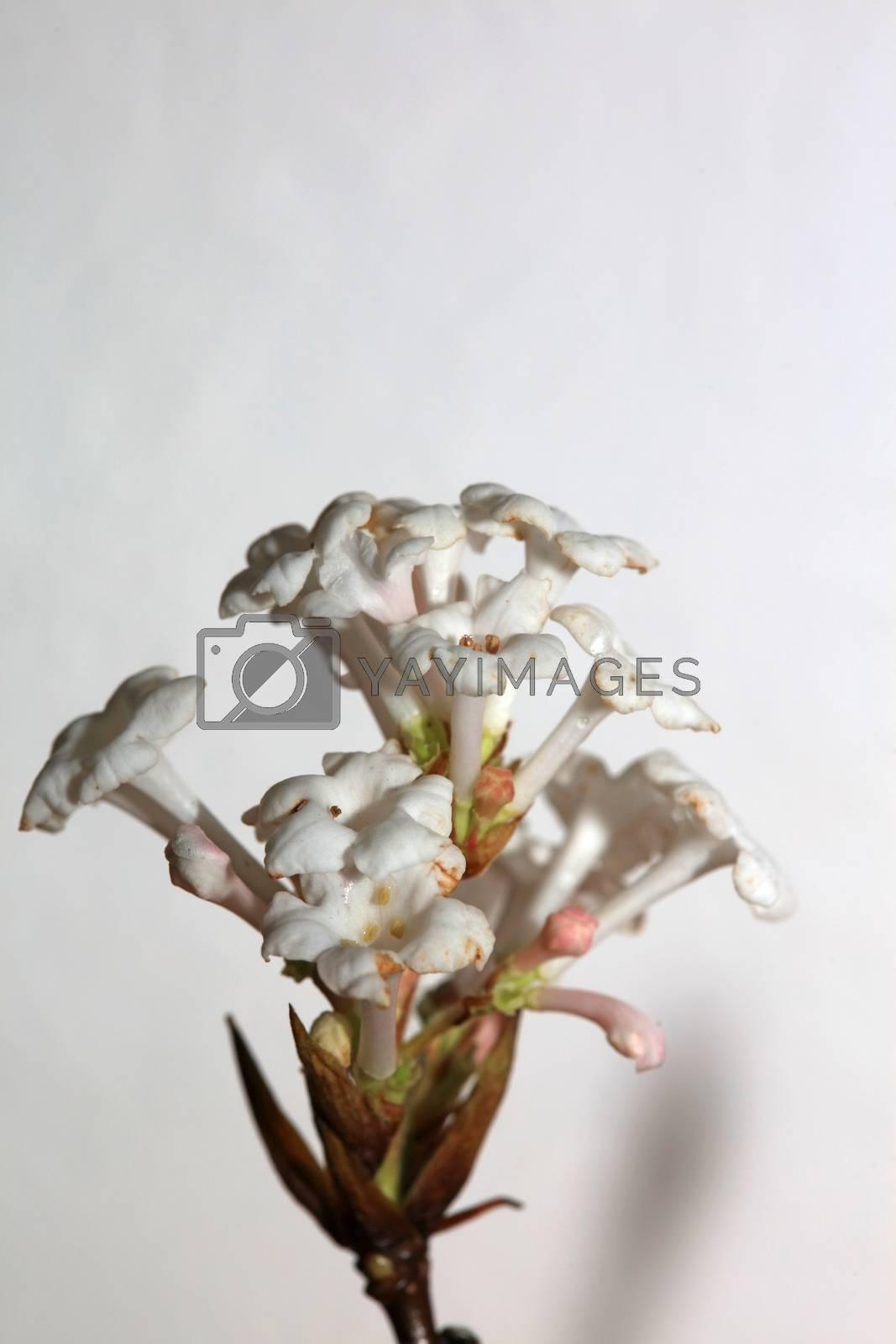 White flower blossom viburnum farreri steam family adoxaceae macro modern high quality background print