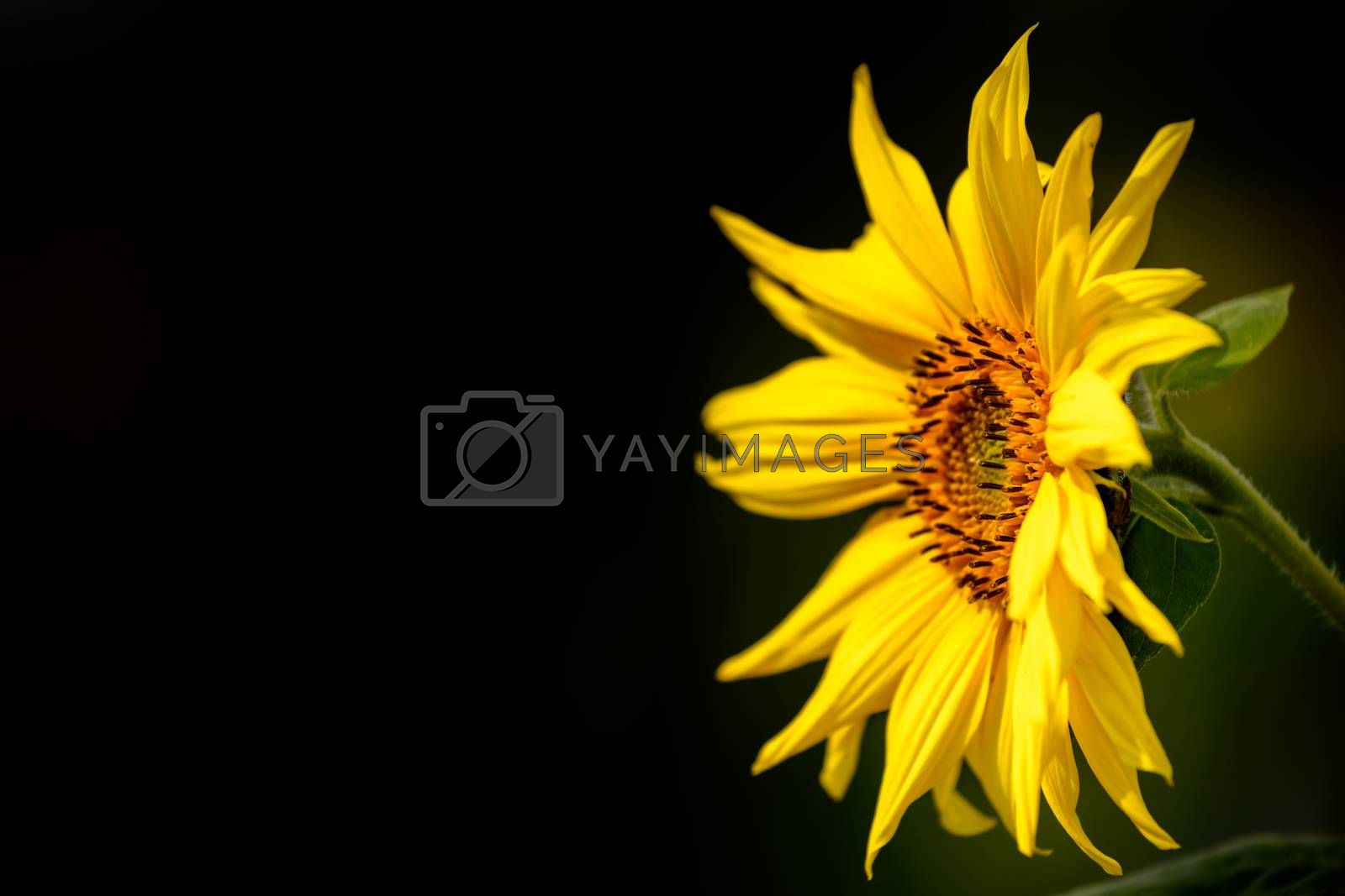 Yellow sunflower isolated on a dark background